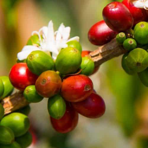 Grains de café du Costa Rica