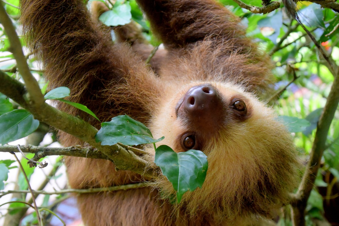 Paresseux du Costa Rica